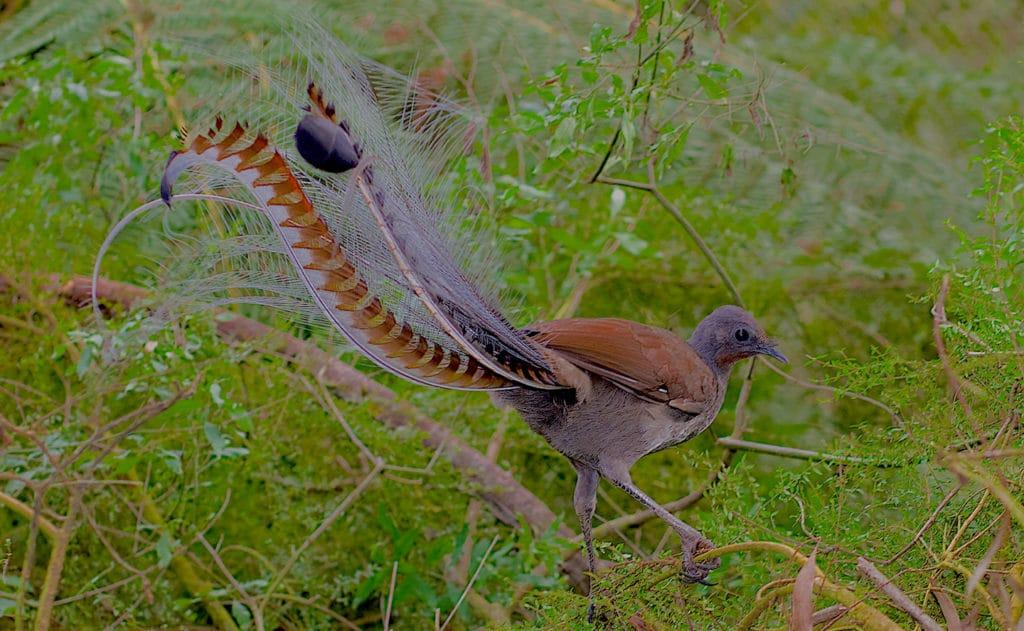 Suburb Lyrebird