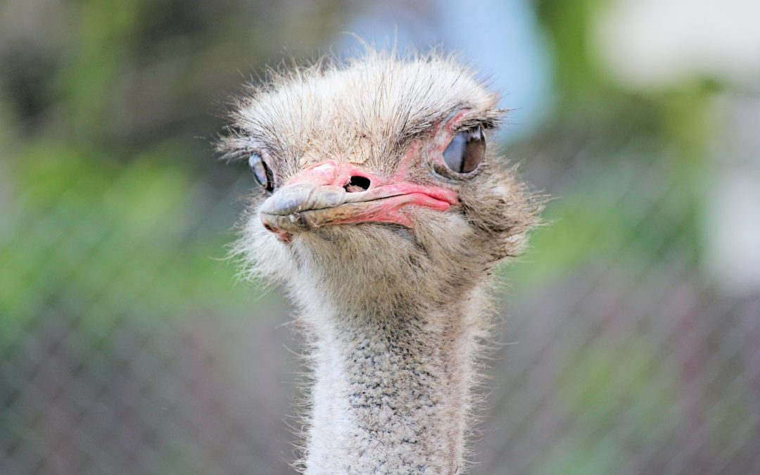 Is your head stuck in the sand? (Hint: neither is the ostrich's)